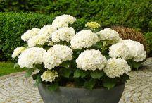 Balkon növények