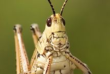 insetos classe orthoptera