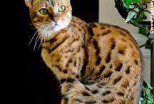 Gato Reina