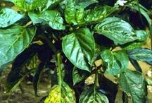 Diseases of Peppers