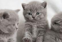 Britské modré mačky