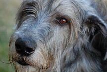 Irský vlkodav / Vlkodav je má srdcová záležitost celý život