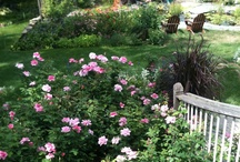 Great Rose Reads / Articles, blog posts and other great stuff about roses.