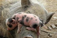 Schweine, Meersäue usw...