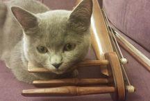 Mınık / She is a british shorthair cat