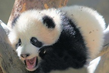 Pandas / by Emma Bedelle