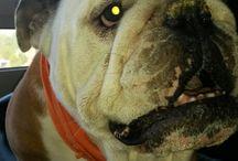 my Bulldog:)