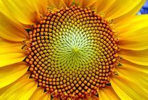 Liber Abaci / Mother Nature's salute to Fibonacci and other geometrical wonders.