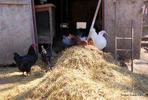 chicken composting