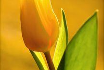 Lâle / Tulip