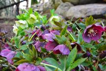 To Hellebores and Back / The garden gives us gifts from time to time.  So does life.