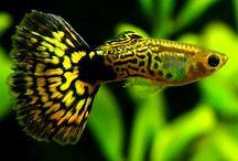 Tropical fish / Tropical fish species for freshwater tanks