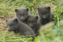 Foxes / Photographs of Arctic and red foxes.