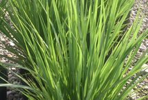 Ornamental Grasses / Here are just a few varieties of Ornamental Grasses and Bamboo available at Ammon Nursery. Visit us at www.ammonplants.com for a complete listing.
