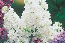 Trees & Shrubs for Fall / Perk up drab areas with flowering trees or grow delicious produce with our selection of fruit trees. Our shrubs will add year-round aesthetic appeal to your yard, all with enticing colors, textures or fragrances. Some will even help attract hummingbirds, butterflies and other beneficial insects to your garden. Add structure and personalization to your outdoor space!  Available at MichiganBulb.com