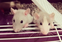 Pet Ratties..!