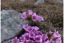 fiori montagna.