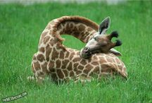 Girafs / Funny, funny creatures!