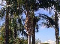 palmacee varietà