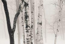 Birchs & beechs