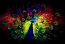 All Things Peacock / #peacock / by Gabrielle Ann