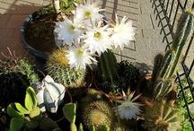Cactacee & Succulenti