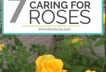 Care for Roses