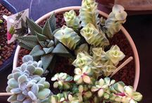 Kaktus / Kaktuslerim