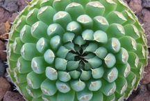 Plants - Other Succulents