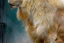 Lions / Lions  / by Tiger Crane