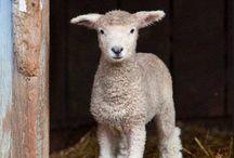 sauer/sheep