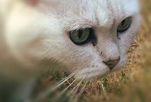 Lazy Cat / Lazy Cat is de mooiste Britse Korthaar die er bestaat, volgens Lazy Bird dan toch...