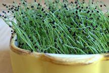 Growing pea shoots / Indoor gardening