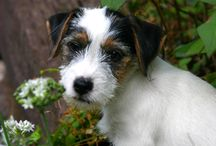 Jack Russell's and other terriors