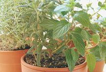 Grønne plante. / Krydderurter der kan være indedørs