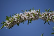 Blossom in Provence