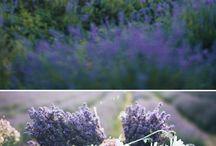 Lavender fields Provence / Lavender fields of Provence. Lavender photoshoots, fashion blog, lavender, France