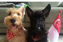 Scottie Terrors / My love for Scottish Terriers