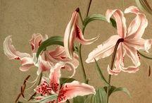 Z Lilie, lily, lillies....