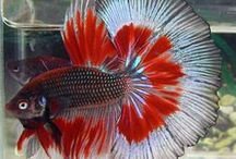 ✿ Pet Fish Stuff ✿ / Pet Fish Stuff: a collection of ideas to help you set up and keep your aquarium or fish tank beautiful, clean and healthy for your aquatic friends.