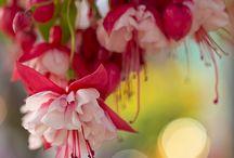 Fuchsia - Fuchsie - (Vyšší klasifikace: Pupalkovité)