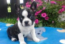 French Bulldogs / http://www.buckeyepuppies.com/puppies-for-sale-bep/french-bulldog