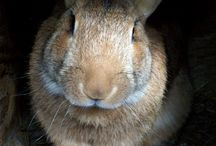 Flemish Giant Bunny•