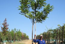 Carya illinoinensis (Pecan Nut) / The Pecan Nut tree is a large and deciduous tree. This hardy tree is the largest of the hickories and works beautifully as a shade and ornamental tree. We currently stock 200L of this tree. (Last updated 28 March 2017)