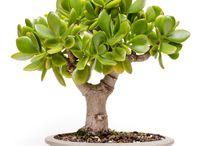 rostliny - Crassula ovata