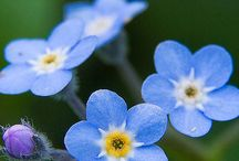 Forget Me Nots kochane