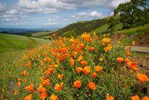 California Poppies!