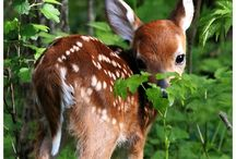 porot ja peurat / Peurat ja porot / deers and reindeers