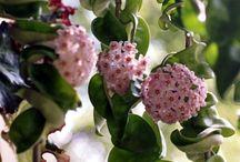 Planter / Hoyaplante