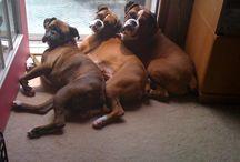 Boxer Dog Lover / Boxer Dog Lover